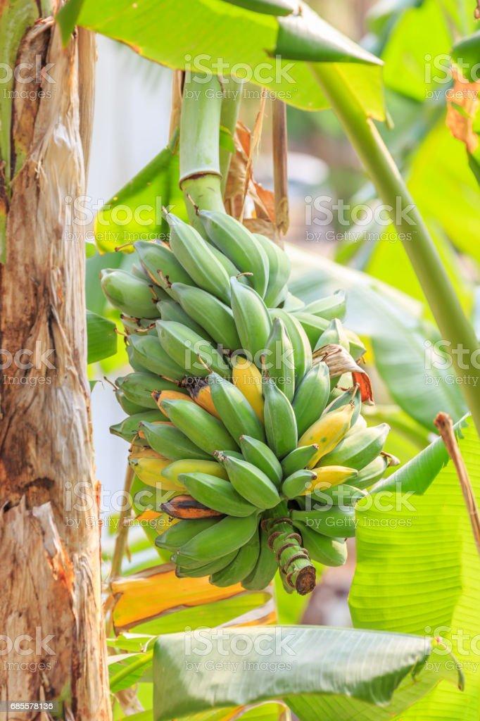 Banana tree. royalty-free 스톡 사진