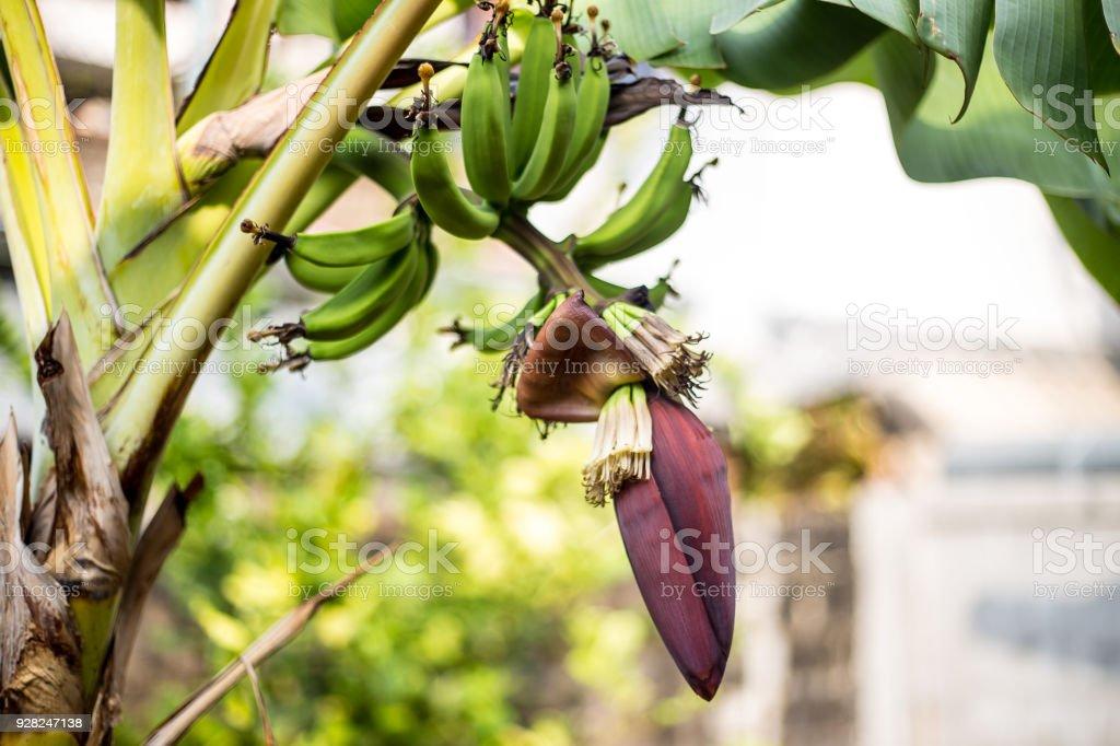 Banana tree stock photo