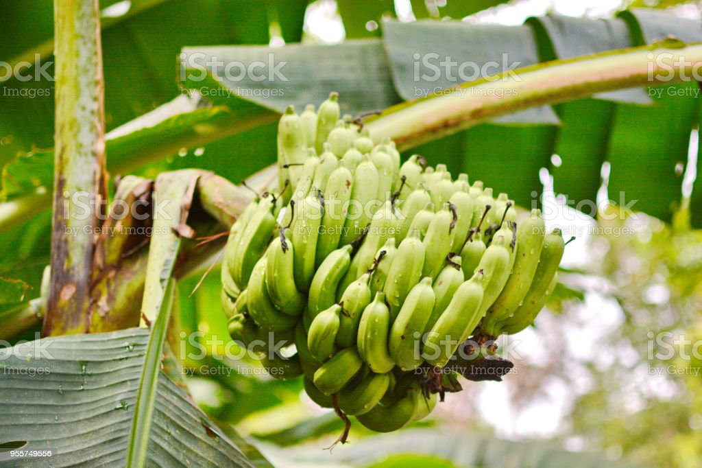 Banana tree with bunch of growing green bananas plantation...