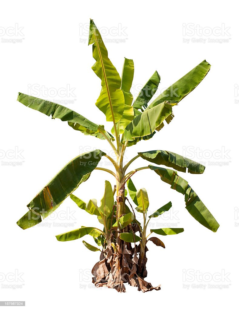 Banana tree with clipping path. stock photo