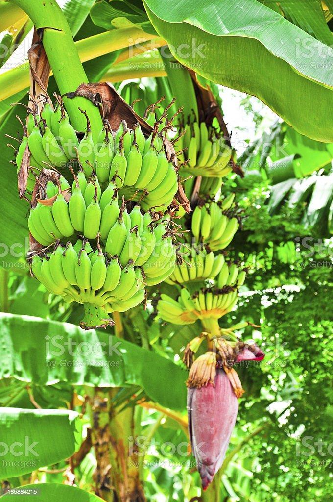 Banana tree with double bunchs of bananas ,Thailand royalty-free stock photo