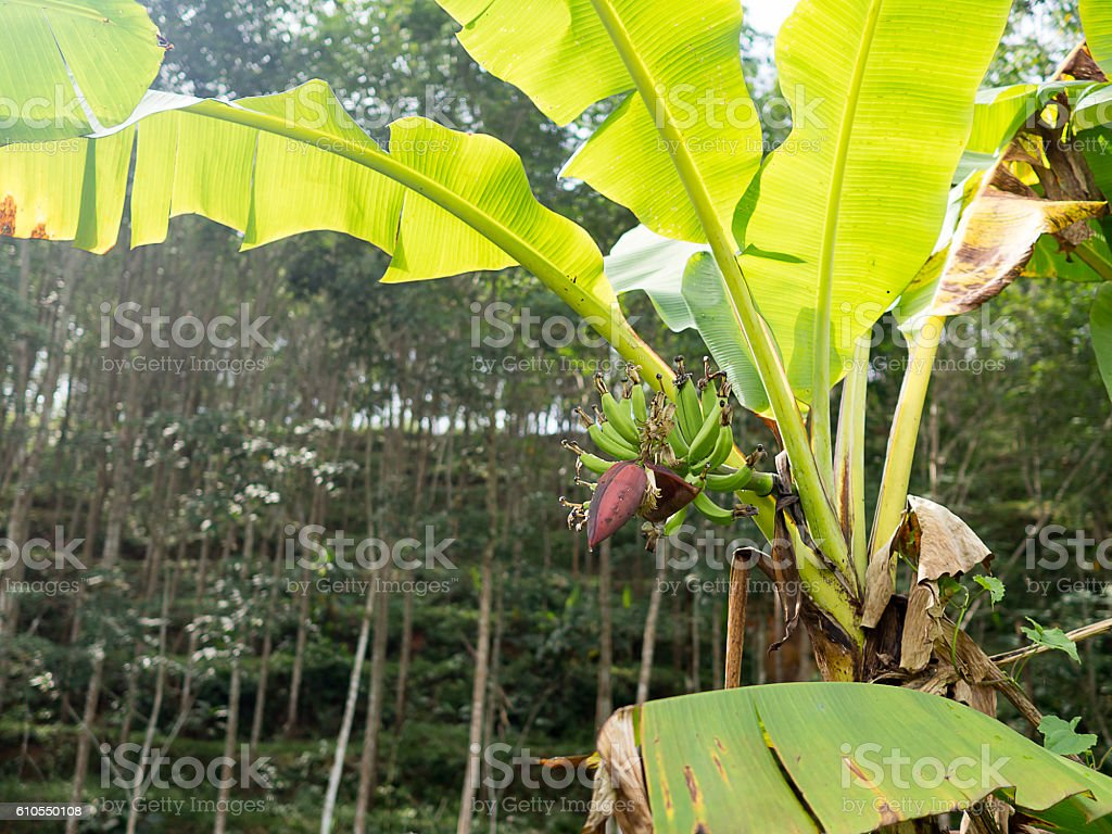 Banana tree with green leaves and banana flower in plantation. stock photo