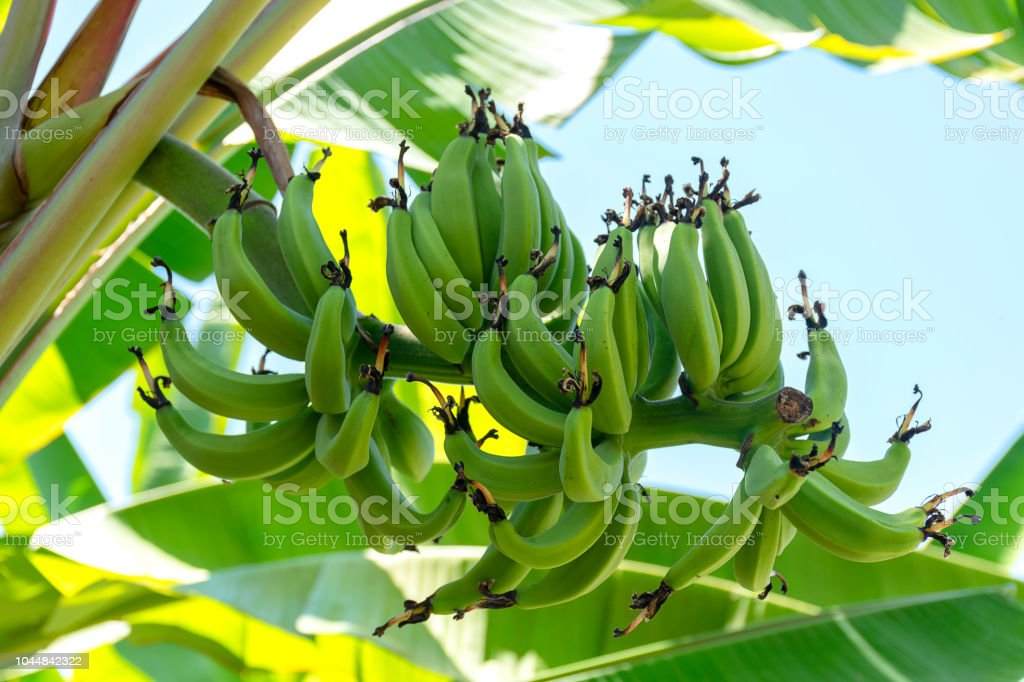 banana tree with unripe raw green bananas bunches growing ripen on...