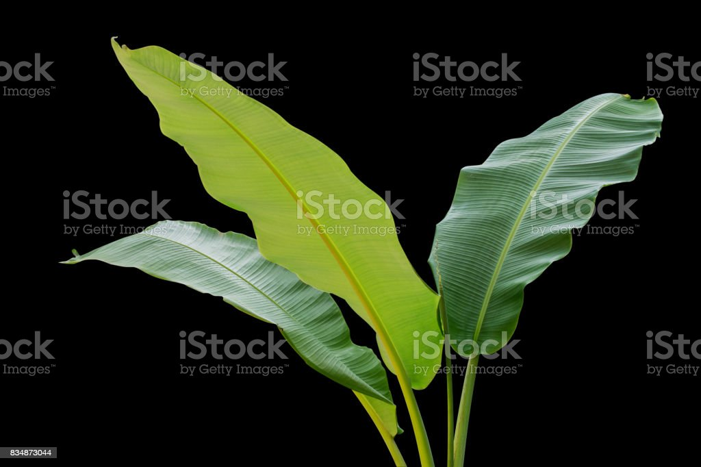 Banana trees isolated on black background stock photo