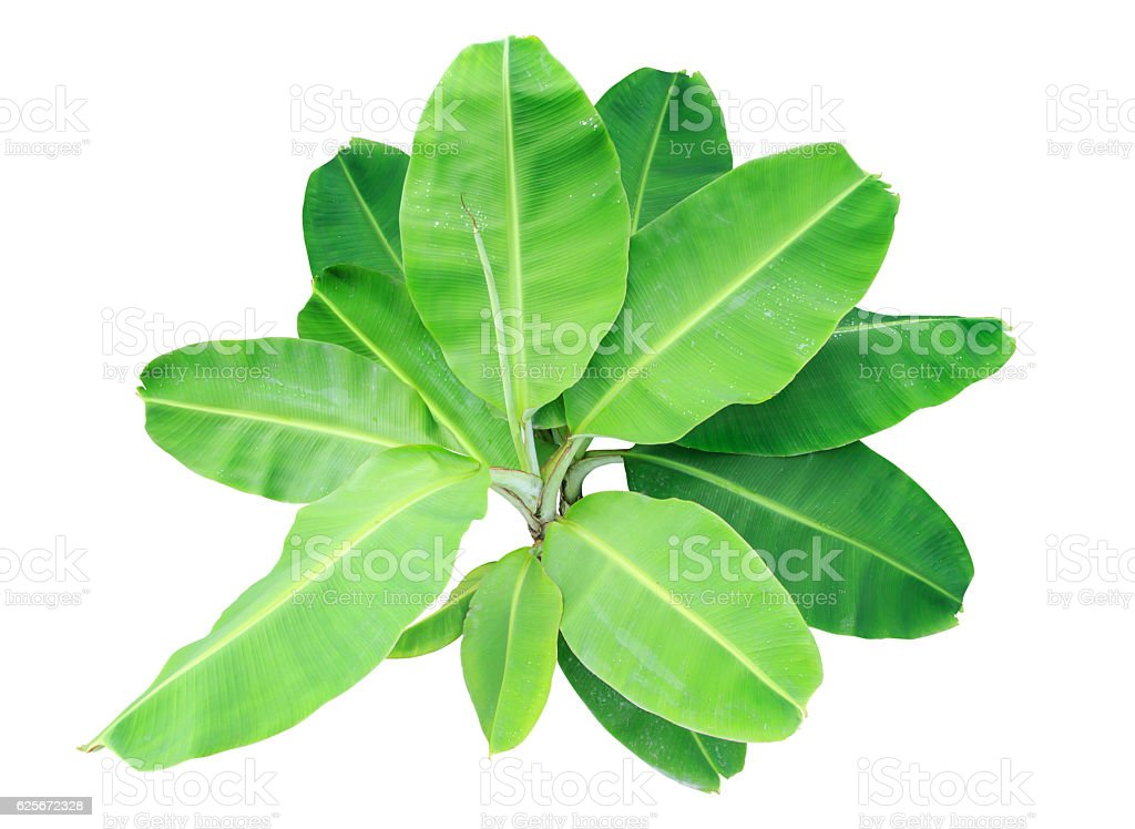 banana trees or green banana leaf isolated on white stock photo