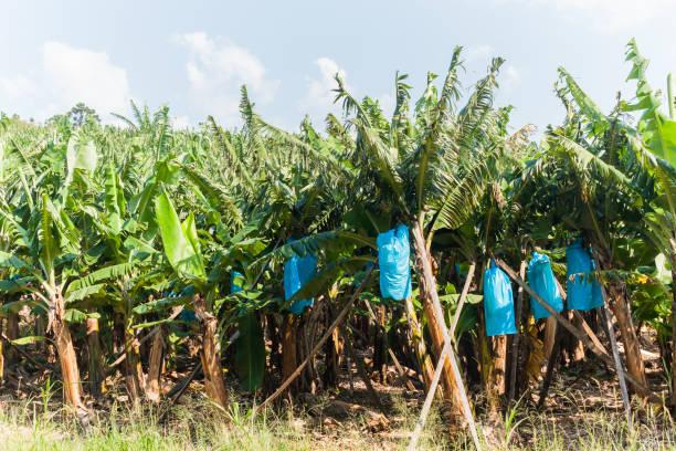 Banana Trees – Foto