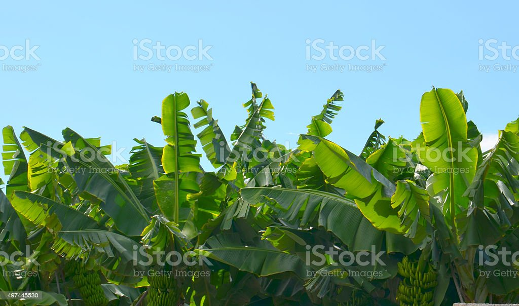 Banana trees plantation in Tenerife,Canary Islands. stock photo
