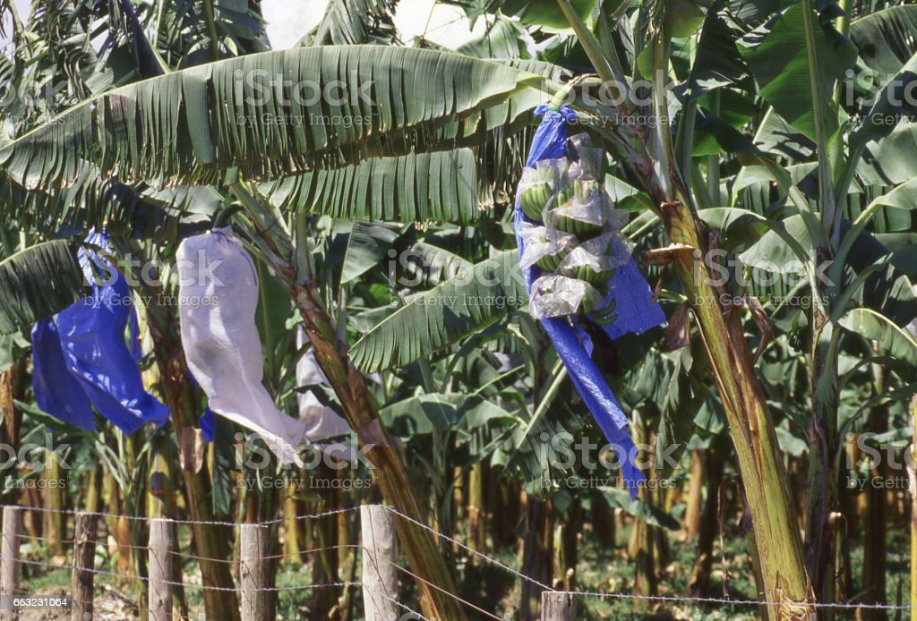 Bananas covered in plastic on trees in commercial fields to protect from damage before harvesting and export near La Ceiba and Tocoa Honduras Central America stock photo