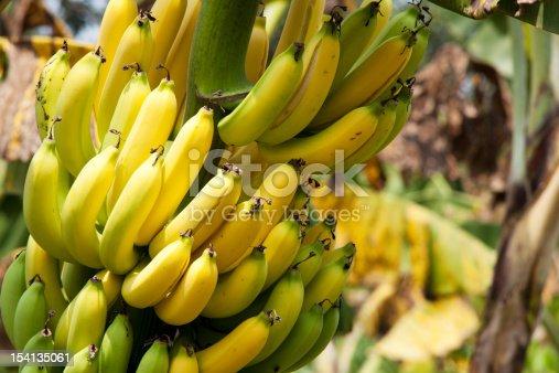 banana, fresh yellow fruit on tree at farmland