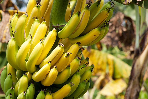Bananas in various stages of ripeness growing on a tree stock photo
