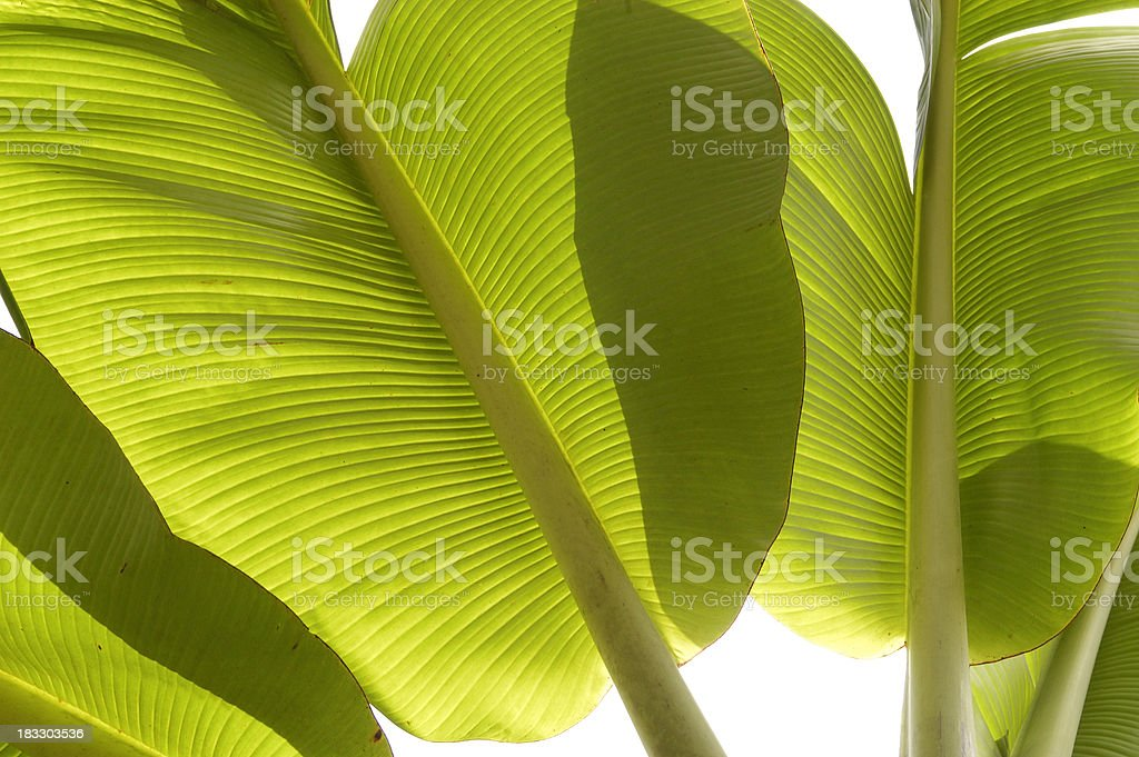 Bananas' Leaves royalty-free stock photo