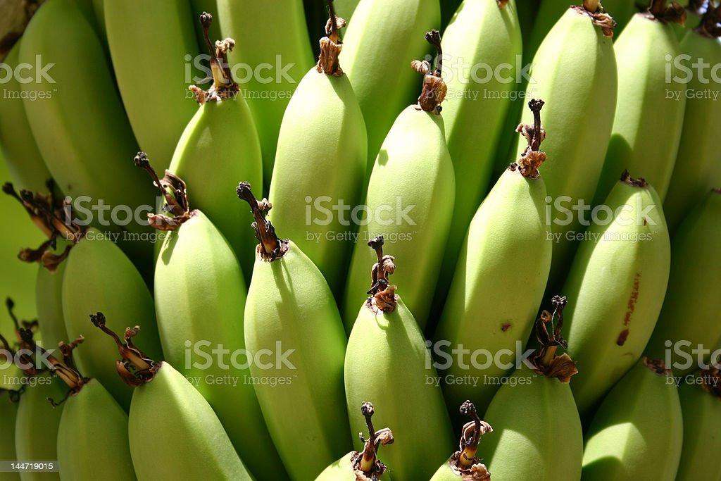 Bananas maturing on the tree stock photo