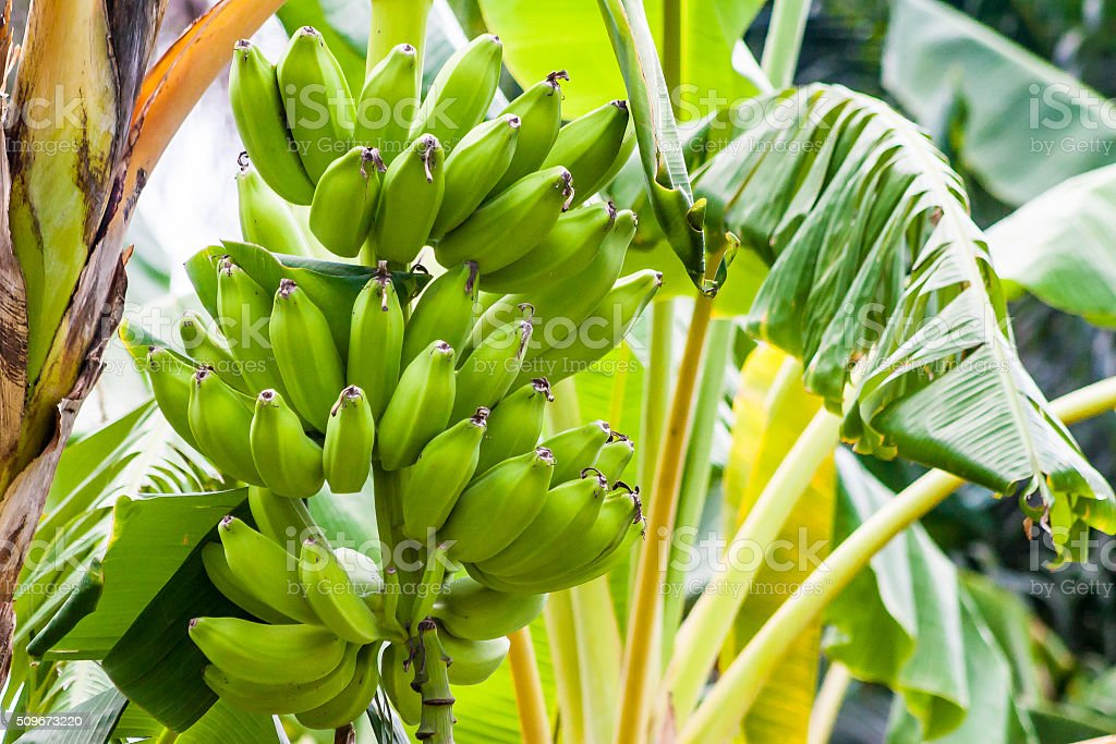 Bananas on a banana tree stock photo