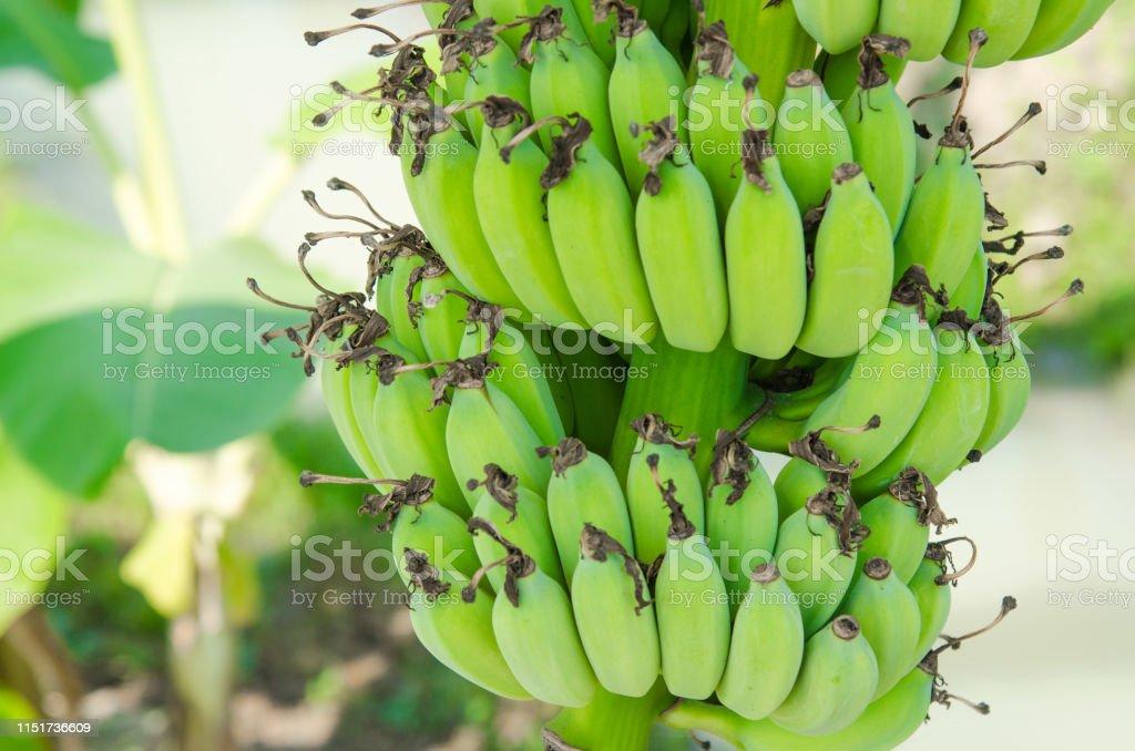 bananas on tree nature real green banana