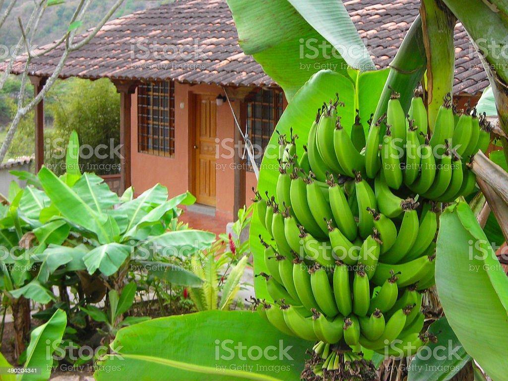 Bananas on tree outside ranch house veranda Copan Honduras stock photo