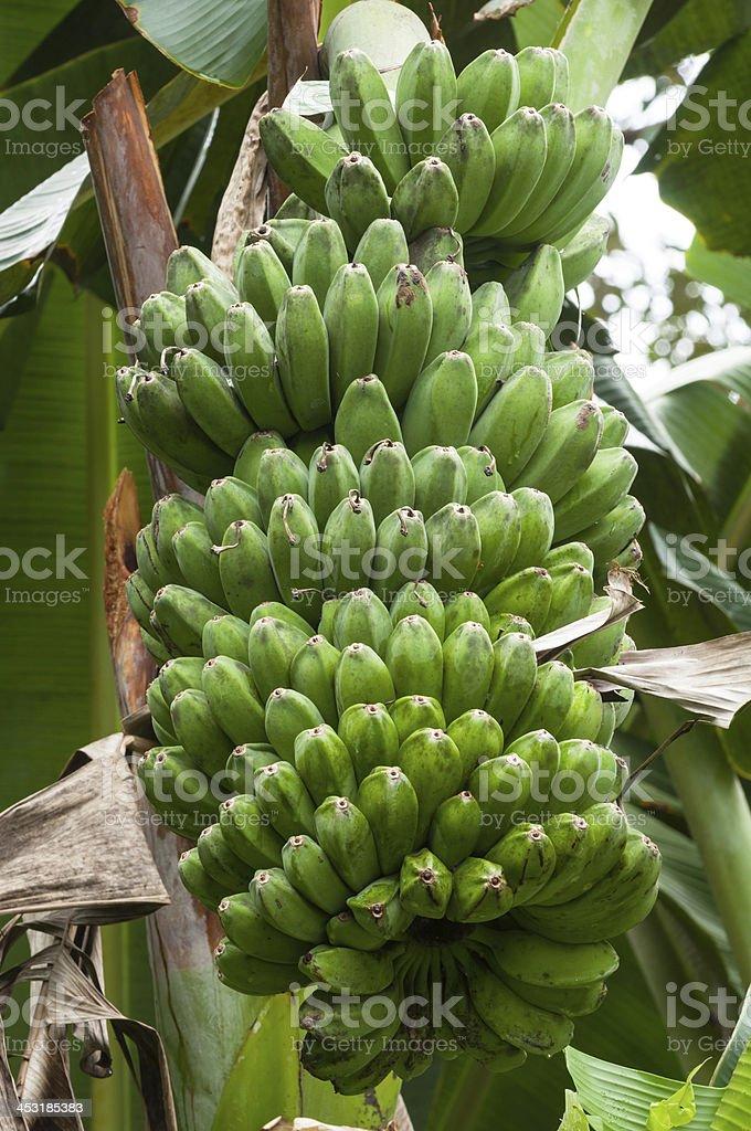 bananas on tree royalty-free stock photo