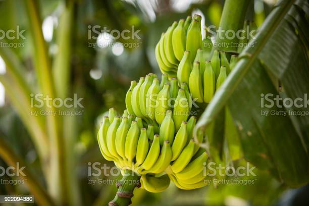 Bananas picture id922094380?b=1&k=6&m=922094380&s=612x612&h=myokadz mkpmojouwiwl z l3pqli30ahacpx 50uuk=