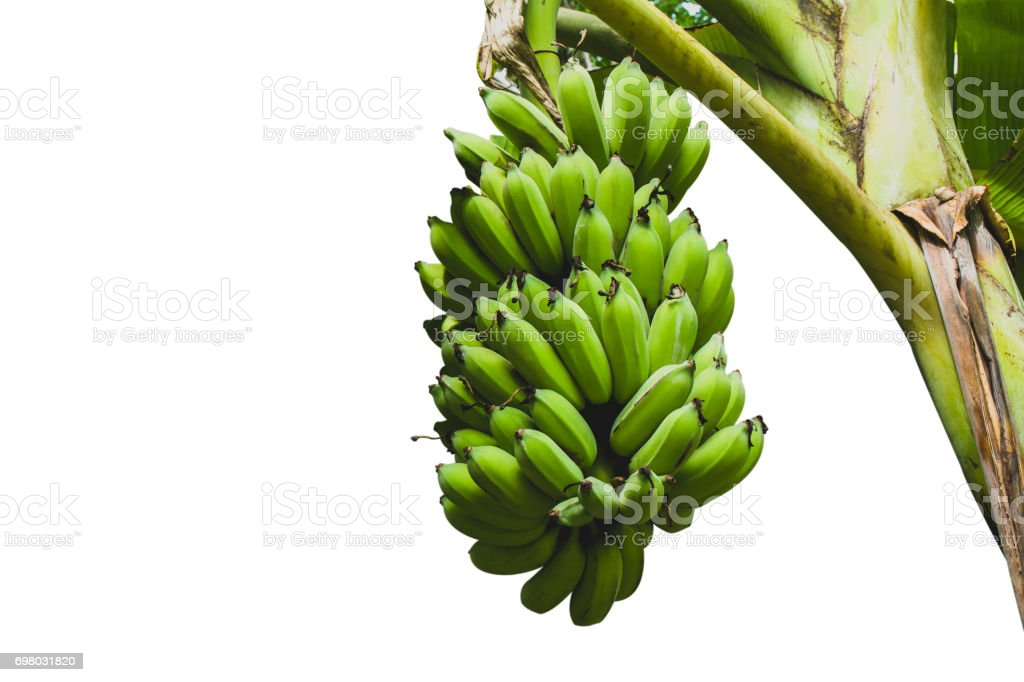 Bananas with banana tree isolated over white background with clipping path. stock photo