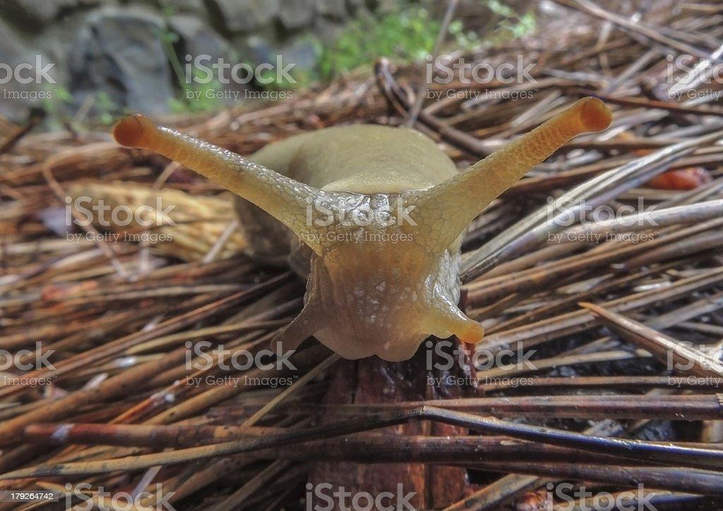 BananaSlug stock photo