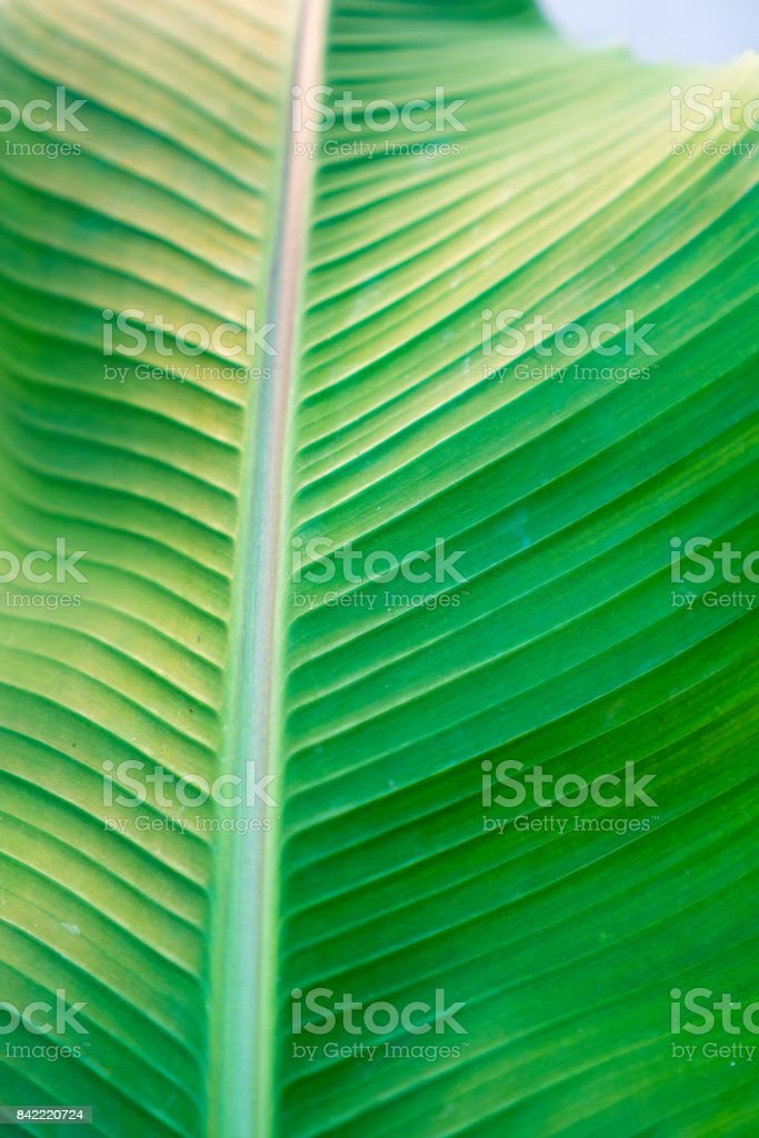 Banane palm leaf, green nature trexture background stock photo