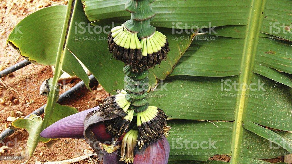 Bananennblüte stock photo
