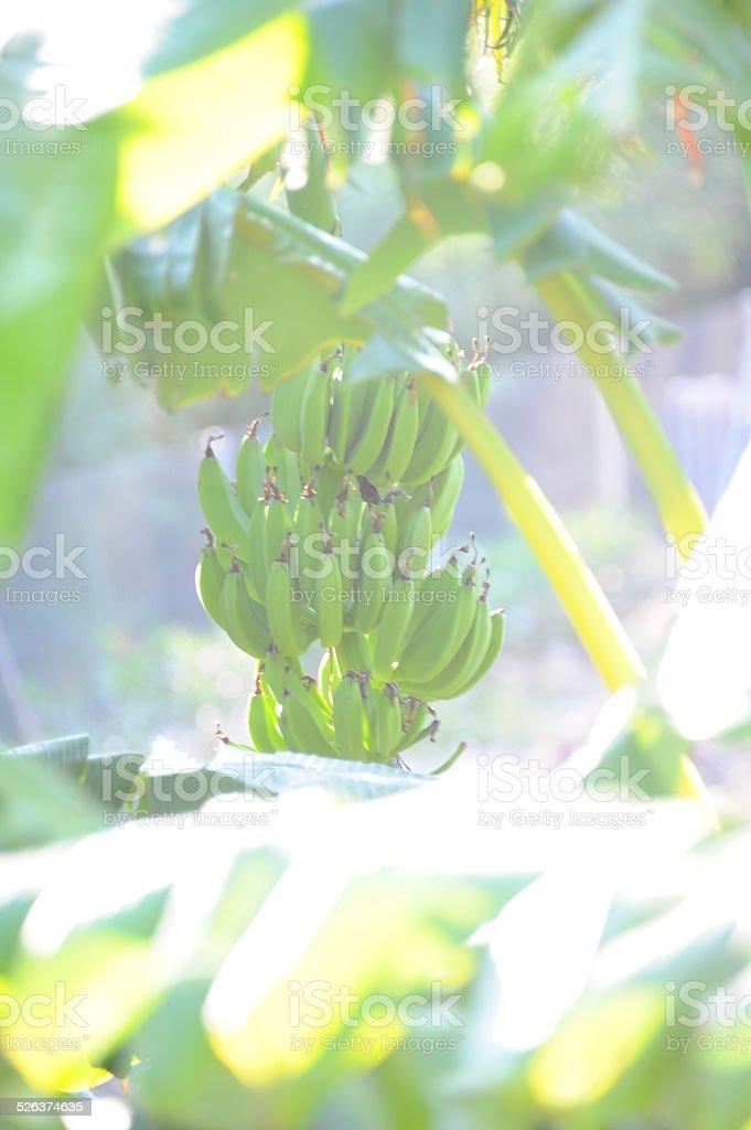 Bananenstaude stock photo