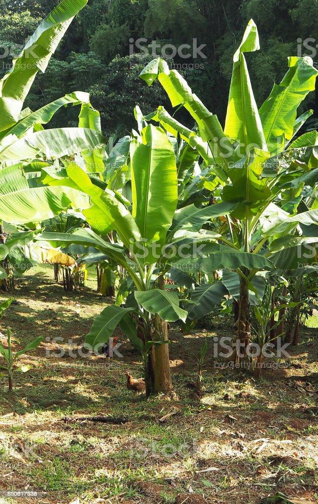 Bananiers et petits gallos, La Martinica - foto de stock