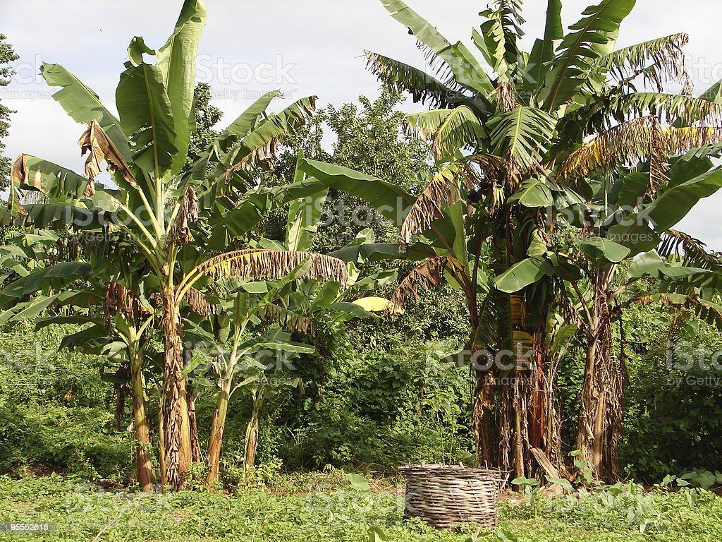 bananiers royalty-free stock photo