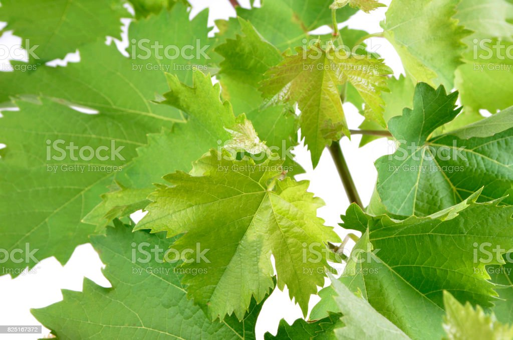 banch of vine leaves isolated stock photo