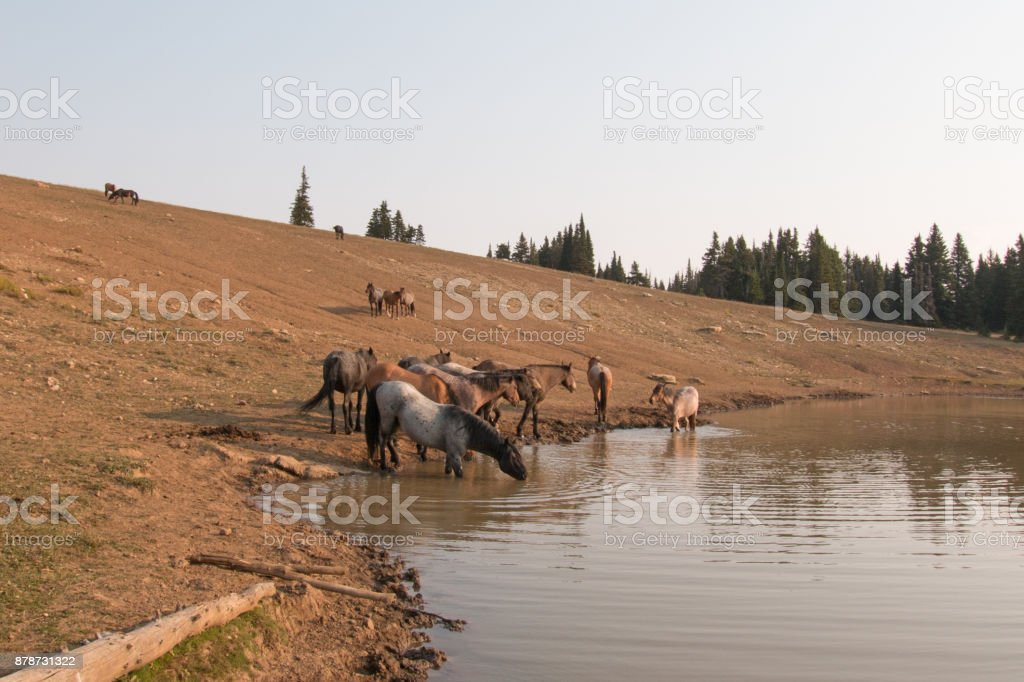 Band of wild horses drinking at watering hole in the Pryor Mountains Wild Horse Range in the states of Wyoming and Montana United States stock photo