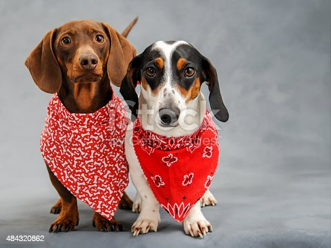 Serious looking dachshund's wearing bright red and white colorful bandanas with extra space on the right for text.