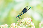 A macro of a blue damselfly perched on a single blade of grass.
