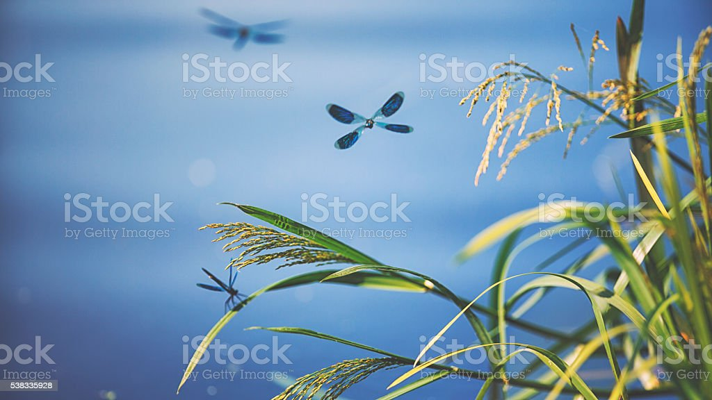 Banded demoiselle [Calopteryx splendens]in  the evening light stock photo