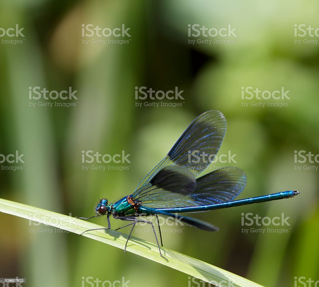 Banded Demoiselle (Calopteryx splendens) Male stock photo
