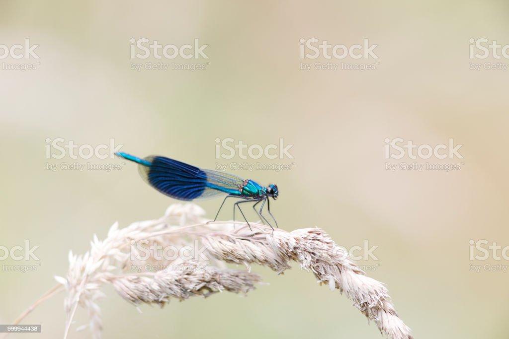 Gestreepte Demoiselle (Calopteryx splendens) man foto