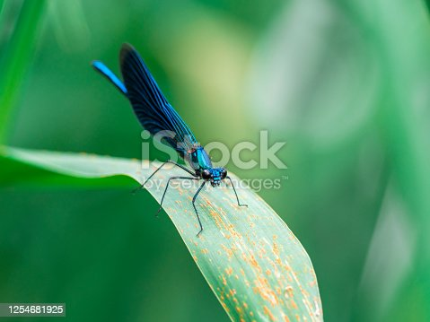 Male Banded Demoiselle (Calopteryx splendens) sitting on a blade of grass near a river. It is a species of damselfly belonging to the family Calopterygidae.