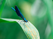 Common blue damselfly or Northern bluet male sits on blade of grass. Enallagma cyathigerum on green blurred background