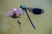The banded demoiselle is perched on a purple flower with a plain background