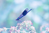 Beautiful insect, banded demoiselle, perching on plant on sunny summer day.Bright and vibrant nature image with blurred pastel background and copy space.