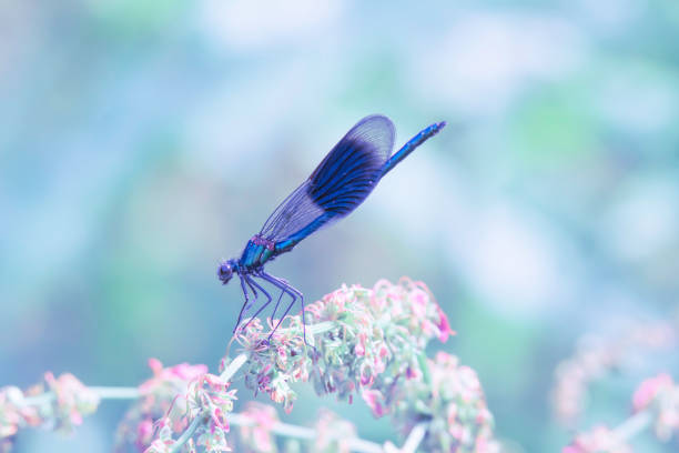 Banded demoiselle perching on plant. stock photo