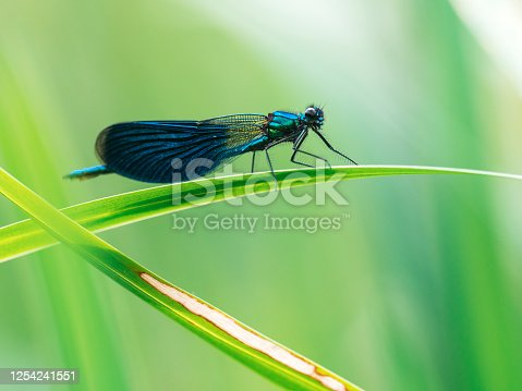 Banded Demoiselle (Calopteryx splendens) sitting on a blade of grass - a species of damselfly belonging to the family Calopterygidae.