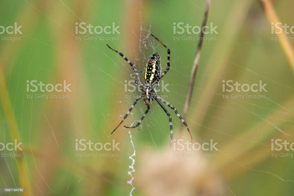 Aranha de jardim com anilhas na Web - foto de acervo