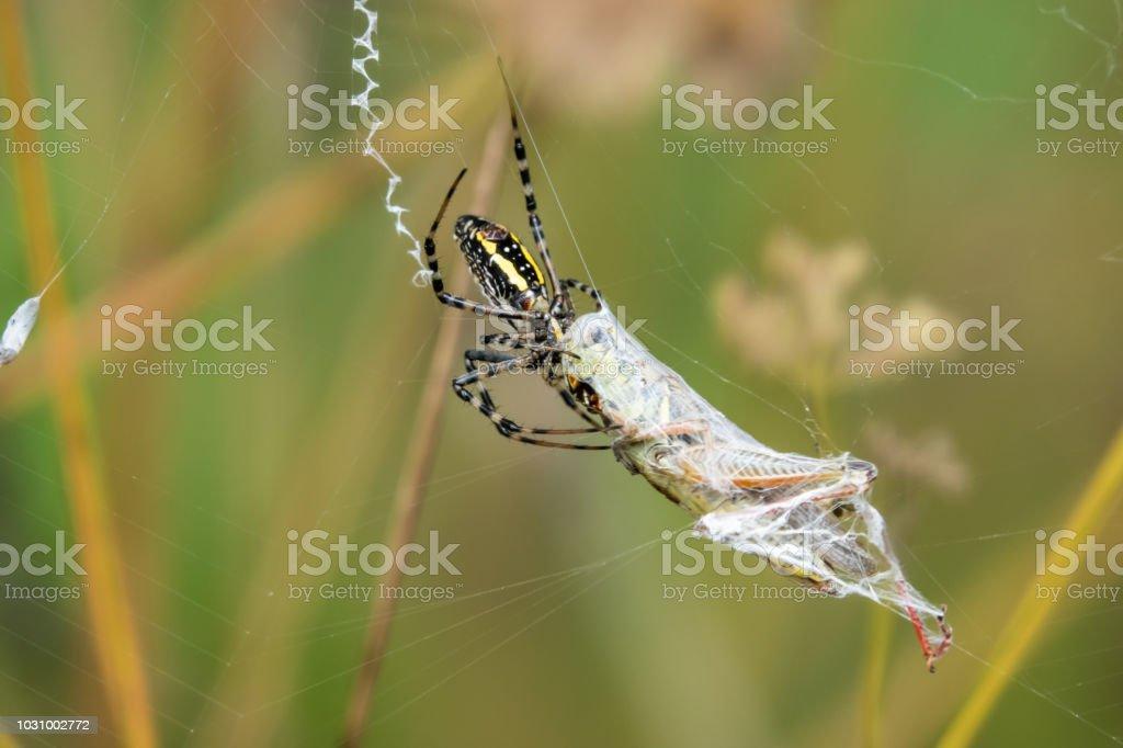 Atado a aranha de jardim com presas de gafanhoto - foto de acervo