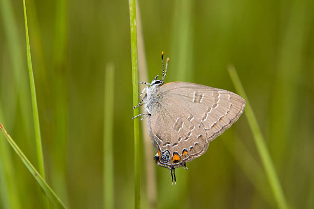Moving his hind wings back and forth, a grey hairstreak perches on a blade of grass.