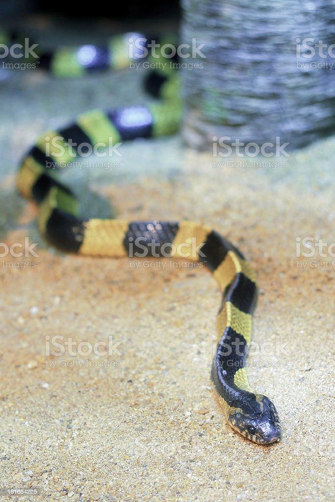 Banded Krait (Bungarus fasciatus) royalty-free stock photo