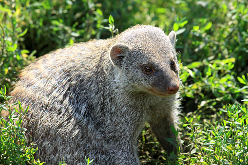 The banded mongoose (Mungos mungo) are small carnivores