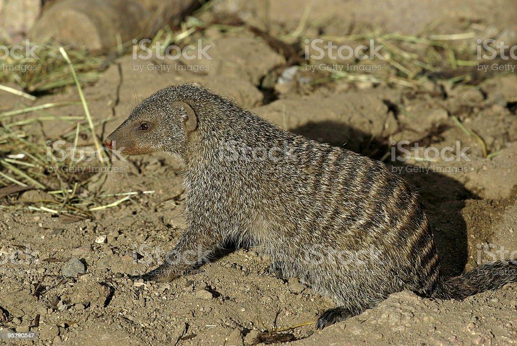 Banded Mongoose (Mungos mungo) stock photo