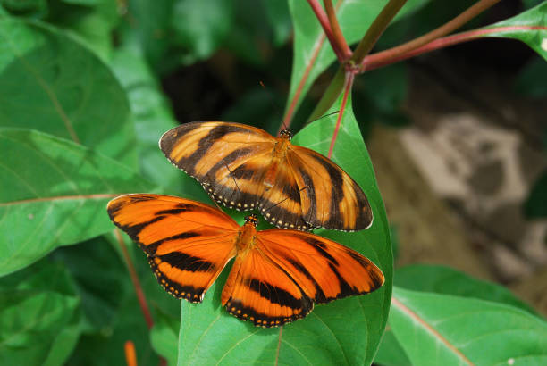 Banded Orange Longwing Butterfly stock photo