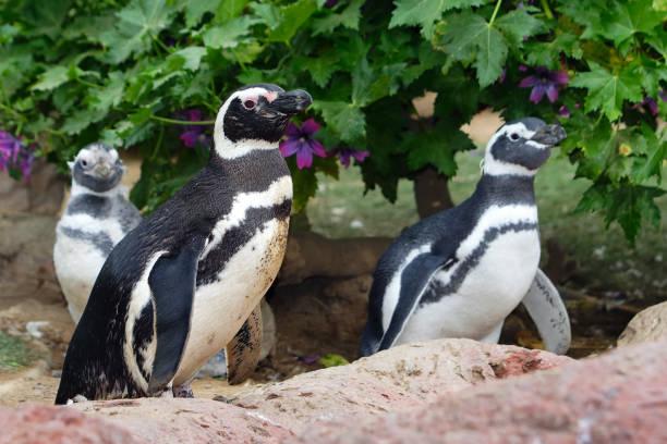 Banded penguins, close up portrait stock photo