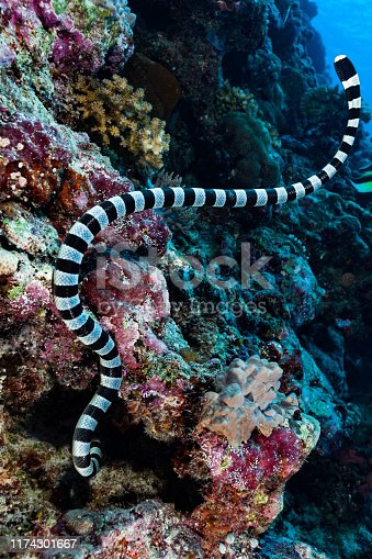 The Banded Sea Snake Laticauda colubrina occurs in tropical Indo-Pacific. Males maimum length 88 cm, females 142 cm. The Banded Sea Snake is often seen in large numbers in the company of hunting parties of giant trevally (Caranx ignobilis) and goatfish. Their cooperative hunting technique is similar to that of the moray eel, with the Snakes flushing out prey from narrow crevices and holes. Sea Snakes need to drink fresh water and regularly come onto land for that purpose. Southeast Peleliu Island, Palau, Micronesia, 6°59'22.6